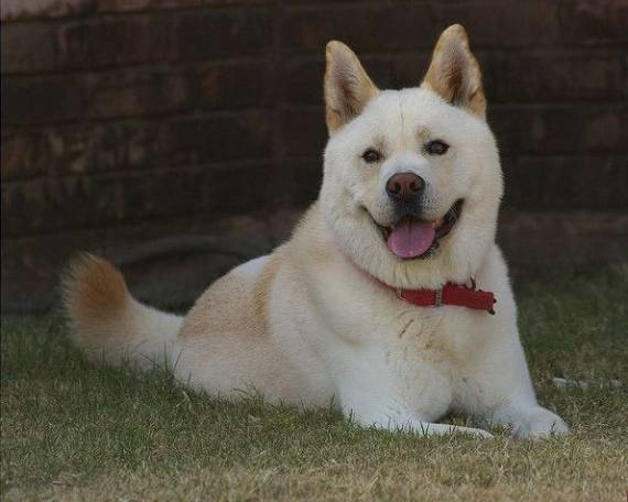 Phil McGraw Korean Jindo